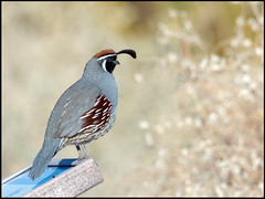 Gambel's Quail (Ed Sivon) Tags: america canon nature lasvegas wildlife western wild southwest desert clarkcounty vegas flickr bird henderson nevada preserve