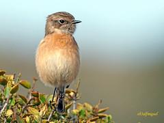 Tarabilla europea (Saxicola rubicola)  (26) (eb3alfmiguel) Tags: aves passeriformes insectívoros turdidos turdidae tarabilla europea saxicola rubicola