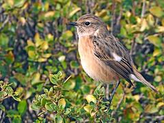 Tarabilla europea (Saxicola rubicola)  (11) (eb3alfmiguel) Tags: aves passeriformes insectívoros turdidos turdidae tarabilla europea saxicola rubicola