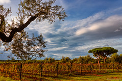 160 km di vino - Bolgheri / 160 kilometers of wine - Bolgheri (Eugenio GV Costa) Tags: approvato campagna toscana albero tuscany countryside tree outside luce holy light vino vigna vineyard wine panorama bolgheri nuvole cielo alberi clouds sky trees upenda