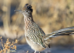 Roadrunner (Ed Sivon) Tags: america canon nature lasvegas wildlife western wild wind southwest sun clarkcounty desert flickr vegas bird henderson nevada preserve
