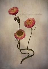 Helichrysum bracteatum (shawn~white) Tags: flower helichrysumbracteatum ©shawnwhite fujifilmxt2 pink crimson vermillion design charm elegance idyllic nostalgia reminisce retro vintage floral strawflower writing parchment paper stacking fujinonxf35mmf2rwr focusmerge texture stilllife
