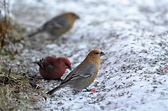 konglebit ( Pinicola enucleator ) female (KvikneFoto) Tags: fugle bird natur snø snow vinter winter