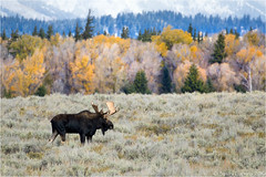 Moose (Sandra Lipproß) Tags: alcesalces moose elch animal wildlife wyoming grandtetonnationalpark fall fallcolors fallfoliage autumn usa landscape nature outdoor rockymountains