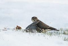 Another sign... (sfdonald) Tags: falcocolumbarius fauconemerillon hawk merlin winter feeding predator