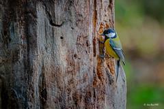 _JRH3632 (jeanrene31240) Tags: mésanges domainedesoiseaux mazères midipyrénées ariège occitanie france oiseaux nature nikon passereaux arbres insectes