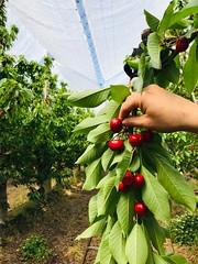 16-11-19 Con buenas expectativas comenzó la temporada de cerezas en Río Negro (fotografia@rionegro.gov.ar) Tags: cerezas producción cosecha trabajador fruta