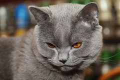 Antonio (Сonstantine) Tags: catslife cat canon catsoftheworld catscatscats cute meowmeow british animals britishcat meow