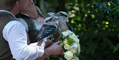 Marriage of two falconers (pe_ha45) Tags: fauconnerie falconry falknerei hochzeit marriage hellenthal kookaburra lachenderhans lachvogel