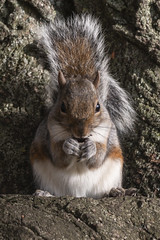 Evil Genius (BKB Images) Tags: squirrels britishwildlife park valence water squirrel grey rodent bushy tail dagenham becontree essex london leaf leaves grass autumn brown tree root bark acorn munch chew