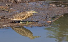 Squacco Heron     (Ardeola ralloides) (nick.linda) Tags: squaccoheron ardeolaralloides herons wildandfree spain canon90d sigma150600c