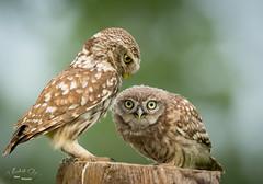 little owls (fire111) Tags: little owl steenuil bird prey owls birding wild wildlife nature