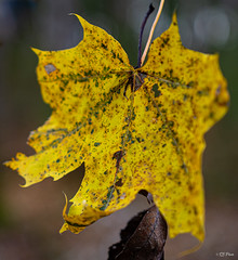 The last leaf (thore.bryhn) Tags: leaf autumn fall yellow