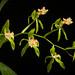 [Borneo] Coelogyne zurowetzii Carr, Orchid Rev. 42: 44 (1934)