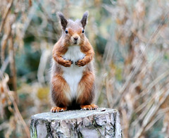 Red Squirrel (eric robb niven) Tags: ericrobbniven scotland redsquirrel wildlife nature springwatch dundee