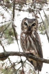 ''Broche de pin!'' Petite nyctale-Northern saw-whet owl (pascaleforest) Tags: faune wildlife wild canada quebec nikon nature passion owl bird oiseau