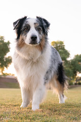 Father?  What are you doing on the ground? (Jasper's Human) Tags: aussie australianshepherd dog grass concern