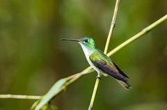 0P7A1713  Andean Emerald Hummingbird, Ecuador (ashahmtl) Tags: andeanemeraldhummingbird bird hummingbird amaziliafranciae sachatamialodge sanmigueldelosbancos pichinchaprovince ecuador