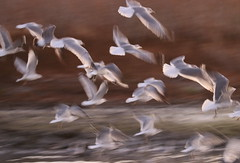 When the sea birds fly (Robin Wechsler) Tags: birds pelicans abstract flight wings animals