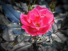 Rose at Gibbs Gardens (randyherring) Tags: gibbsgardens ballground ga cherokeecounty nature beauty