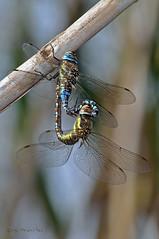 En las cañas (ajmtster) Tags: macrofotografía macro insecto insectos invertebrados libelulas odonatos aeshnamixta aeshna mixta copula amt dragonflies dragonfly esnidos