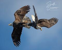 Fish Tug of War... (DTT67) Tags: baldeagles eagles conowingo maryland 1dxmkii canon1dxmkii bird canon nature wildlife