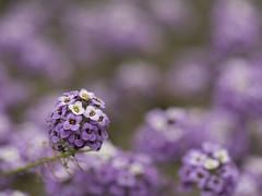 Sortir du lot * (Titole) Tags: shallowdof flowers purple titole nicolefaton many