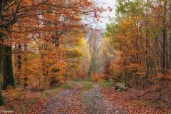 15112019-DSC_0002 (vidjanma) Tags: mabompré arbres automne chemin forêt hestrai hêtres
