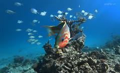 Rotmeer Junker (W.MAURER foto) Tags: egypt reef riff fish dive diving tauchen red sea travel sport watersports blue fische gopro water corall korallen rot rotmeerjunker underwater nature