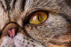 Occhio di gatto - Miu, la mia gattina - Cat's eye - Miu, my cat - (Eugenio GV Costa) Tags: approvato gatto cat gatti cats animal animali domestici