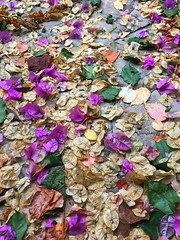 Colors of fall in Croatia  After a jugo, this is a strong southwind The colored leafs are from a Bougainville. (Tommysfotografie) Tags: behindthelens croatiancoast makarskareviera dalmatia afterstorm storm november hrvatska kroatien croazia croatia natureshot naturepicture naturecolors naturephoto natureperfection naturephotography natur natureza natuur nature farbe kleuren herfstkleuren herbstfarben colorsofautumn autumncolors autumn colors blätter blatt blat coloroffall colorsplash leaf leafs bougainvillea bougainville