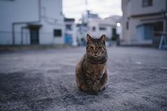 猫 (fumi*23) Tags: ilce7rm3 sel35f18f sony emount 35mm fe35mmf18 a7r3 animal bokeh depthoffield dof neko cat chat katze gato ねこ 猫 ソニー tokyo kitasenju 東京 足立区 北千住