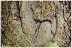 Interiorizando / Internalizing (Claudio Andrés García) Tags: árboles trees madera wood corteza cortex naturaleza nature fotografía photography shot picture cybershot flickr