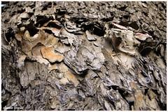 Resquebrajándose / Cracking (Claudio Andrés García) Tags: árboles trees madera wood corteza cortex macro fotografía photography shot picture naturaleza nature cybershot flickr