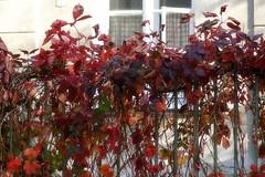 happiness (kinaaction) Tags: fence fencedfriday leaves redleaves sonyilce6000 autumn autumncolors autumnleaves fall jesień ogrodzenie koloryjesieni window red