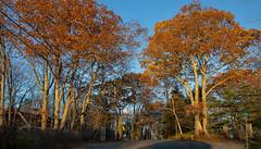 Oaks at Crossroads - Late Afternoon (johnarey) Tags: foliage fall trees maine camden oaks