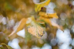 Autumn Dreaming, Kyiv (Geraint Rowland Photography) Tags: leaves light aperture kyiv ukraine 50mm bokeh trees nature golden tree canon 5d4 geraintrowlandphotography travelphotos easterneurope love dreams dreamy wwwgeraintrowlandcouk