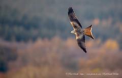 Soaring Red Kite (www.facebook.com/PaulSmithWildlife) Tags: wildlife nature birds scotland autumn springwatch bbcspringwatch autumnwatch
