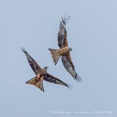 Red Kite In Flight Battle (www.facebook.com/PaulSmithWildlife) Tags: wildlife nature birds scotland autumn springwatch bbcspringwatch autumnwatch