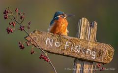 Male Kingfisher (www.facebook.com/PaulSmithWildlife) Tags: wildlife nature birds scotland autumn springwatch bbcspringwatch autumnwatch