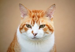 Gino ♥ (En memoria de Zarpazos, mi valiente y mimoso tigre) Tags: cat cats kitten kittens ilovemycat mycat portraitcat ginger orangetabby orangeandwhitecat redcat greeneyes