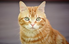 Spritz ♥ (En memoria de Zarpazos, mi valiente y mimoso tigre) Tags: cat cats kitten kittens ilovemycat mycat portraitcat ginger orangetabby orangeandwhitecat redcat greeneyes cc100