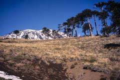 Volcán Lonquimay (Mono Andes) Tags: andes chile chilecentral araucaria regióndelaaraucanía trekking backpacking araucariaaraucana