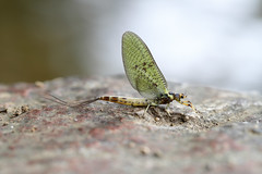 Photo of Mayfly in May