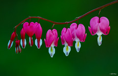 Lamprocapnos spectabilis (thore.bryhn) Tags: flower colorful