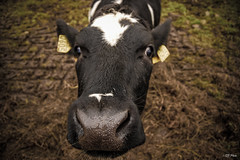 Wassup? (thore.bryhn) Tags: cow animal