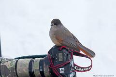 Siberian Jay! (petergranström) Tags: siberian jay lavskrika bird fågel wings vingar snow snö camera kamera canon 1dmk3 tamron