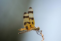 Halloween Pennant (1) (ACEZandEIGHTZ) Tags: halloweenpennant nikond3200 macro closeup flyinginsect dragonfly wings winged texture sideview nature celithemiseponina libellulidae coth coth5 alittlebeauty sunrays5