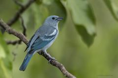 Blue-gray Tanager | Tangara bleu (shimmeringenergy) Tags: bluegraytanager tangarableu thraupisepiscopus peru pérou tangaraévêque tanager tangara