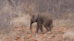 The good news... (leendert3) Tags: leonmolenaar southafrica krugernationalpark wildlife wilderness wildanimal nature naturereserve naturalhabitat mammal africanelephant naturethroughthelens ngc npc
